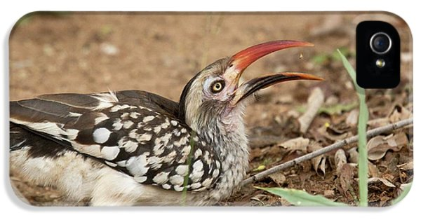 Hornbill iPhone 5 Case - Southern Red-billed Hornbill by Bob Gibbons