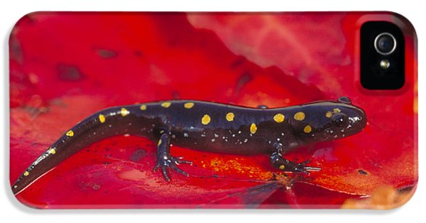 Spotted Salamander IPhone 5 Case by Paul J. Fusco
