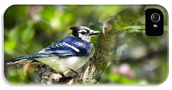 Spring Blue Jay IPhone 5 Case by Christina Rollo