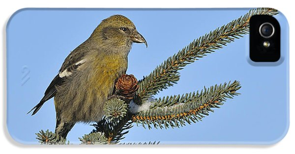 Crossbill iPhone 5 Case - Spruce Cone Feeder by Tony Beck
