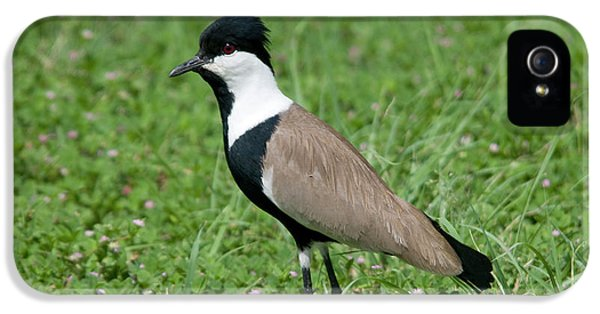 Spur-winged Plover IPhone 5 Case by Nigel Downer