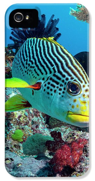 Striped Sweetlips On A Reef IPhone 5 Case by Louise Murray