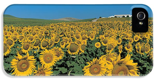 Sunflower Field Andalucia Spain IPhone 5 Case