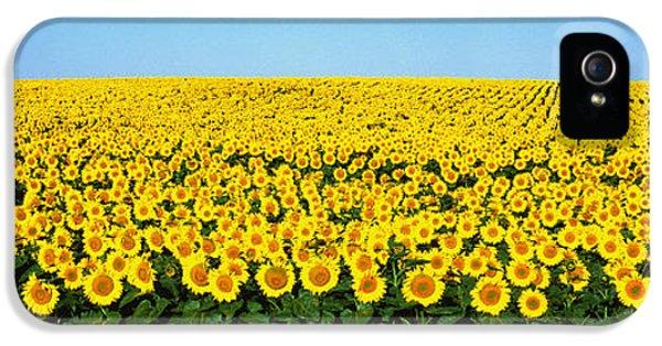 Sunflower iPhone 5 Case - Sunflower Field, North Dakota, Usa by Panoramic Images