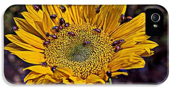 Ladybug iPhone 5 Case - Sunflower With Ladybugs by Garry Gay