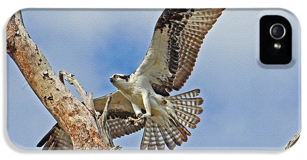 Touch Down - Osprey In Flight IPhone 5 Case