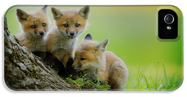 Trio Of Fox Kits IPhone 5 Case by Everet Regal