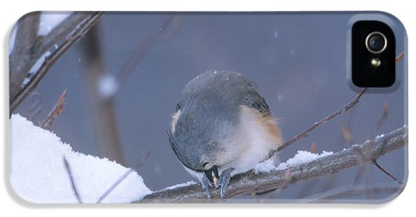Tufted Titmouse Eating Seeds IPhone 5 Case by Paul J. Fusco
