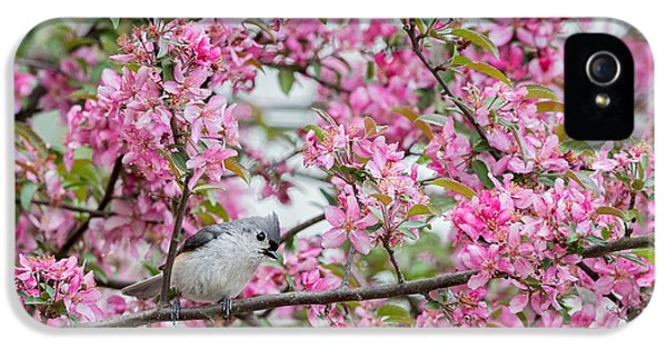 Tufted Titmouse In A Pear Tree IPhone 5 Case by Bill Wakeley