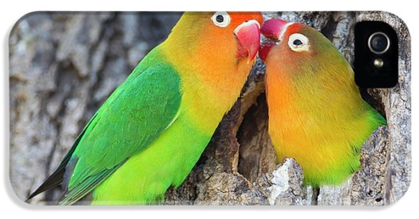 Two Fischer's Lovebirds (agapornis IPhone 5 Case