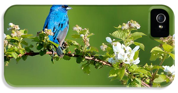 Bunting iPhone 5 Case - Vibrance Of Spring by Rob Blair