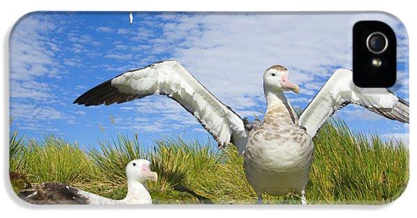 Wandering Albatross Courting  IPhone 5 Case by Yva Momatiuk John Eastcott