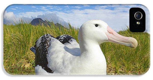 Wandering Albatross Incubating  IPhone 5 Case by Yva Momatiuk John Eastcott