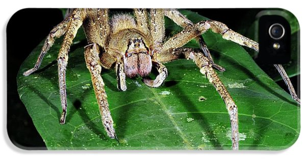 Toxicity iPhone 5 Case - Wandering Spider (phoneutria Nigriventer) by Sinclair Stammers/science Photo Library