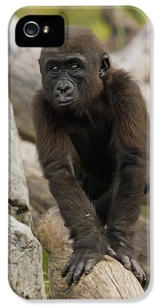 Western Lowland Gorilla Baby IPhone 5 Case by San Diego Zoo