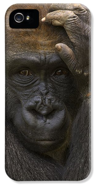 Western Lowland Gorilla With Hand IPhone 5 Case by San Diego Zoo