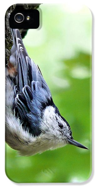 White Breasted Nuthatch IPhone 5 Case by Christina Rollo