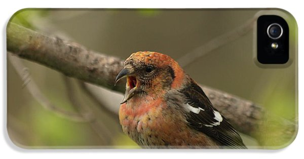 White-winged Crossbill IPhone 5 Case by James Peterson