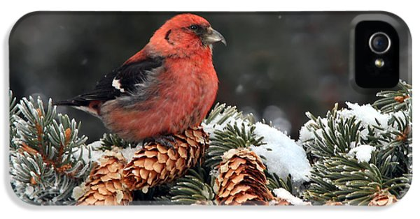 White-winged Crossbill IPhone 5 / 5s Case by Nick  Saunders