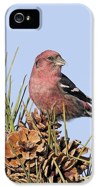 White-winged Crossbill On Pine IPhone 5 Case by Allan Rube