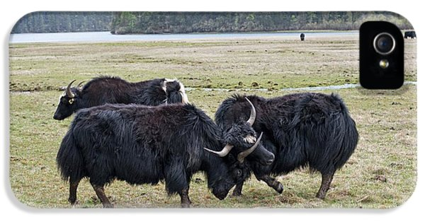 Yaks Fighting In Potatso National Park IPhone 5 Case by Tony Camacho
