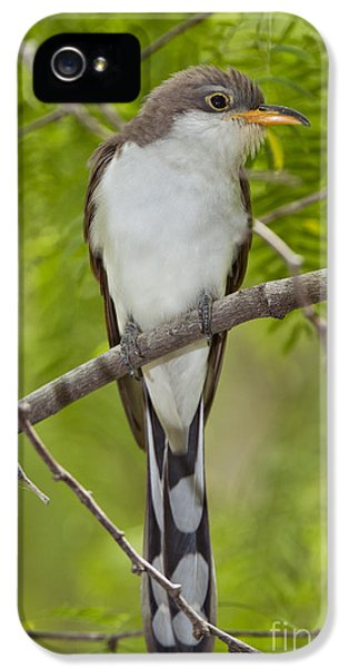 Yellow-billed Cuckoo IPhone 5 Case by Anthony Mercieca