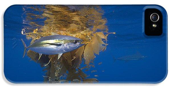 Yellowfin Tuna And Kelp Nine-mile Bank IPhone 5 Case by Richard Herrmann
