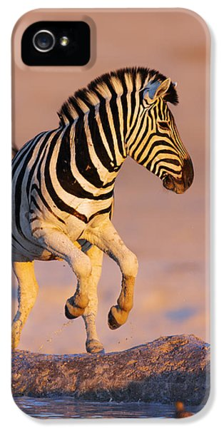 Zebras Jump From Waterhole IPhone 5 / 5s Case by Johan Swanepoel
