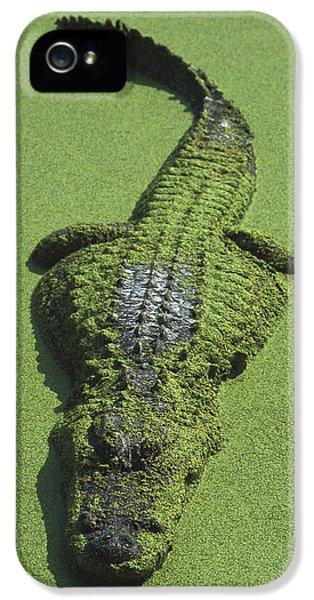 American Alligator Alligator IPhone 5 Case by Heidi & Hans-Juergen Koch