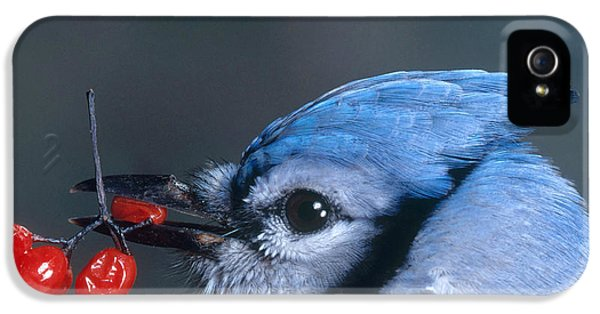 Blue Jay IPhone 5 / 5s Case by Photo Researchers, Inc.