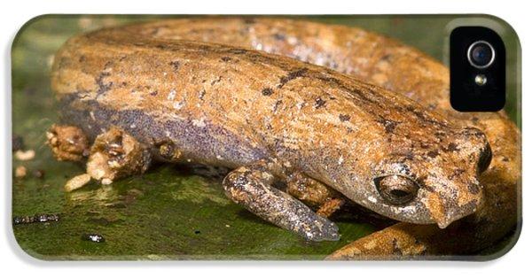 Bolitoglossine Salamander IPhone 5 Case by Dante Fenolio