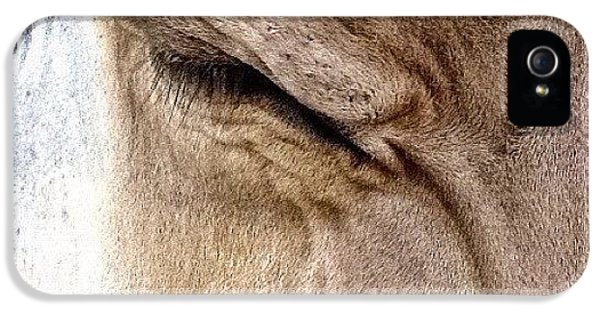 Ohio iPhone 5 Case - Brown Swiss Cow by Natasha Marco