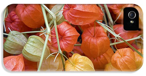 Chinese Lantern Flowers IPhone 5 Case by Jane Rix