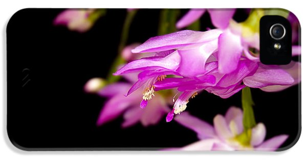 Christmas Cactus IPhone 5 Case by Carolyn Marshall