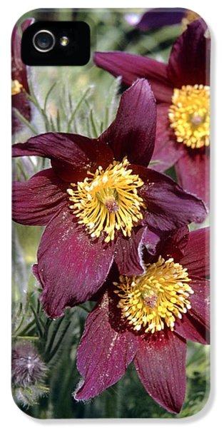 Pasque Flower (pulsatilla Vulgaris) IPhone 5 Case by Adrian T Sumner