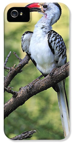 Red-billed Hornbill IPhone 5 / 5s Case by Tony Beck