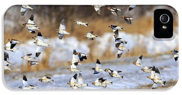 Snow Buntings IPhone 5 Case by Tony Beck