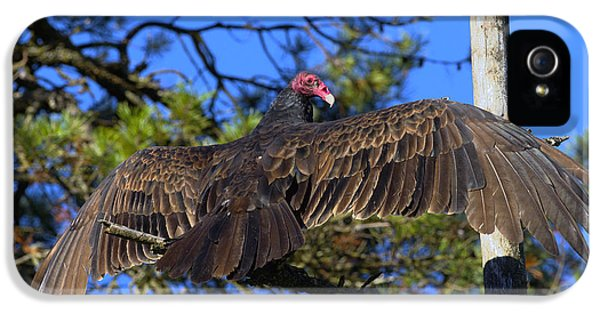 Turkey Vulture With Wings Spread IPhone 5 Case by Sharon Talson