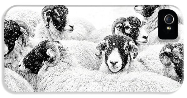 Sheep iPhone 5 Case -  In Winters Grip by Janet Burdon