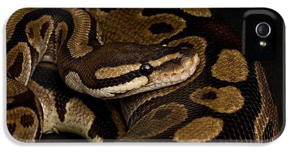 A Ball Python Python Regius IPhone 5 Case