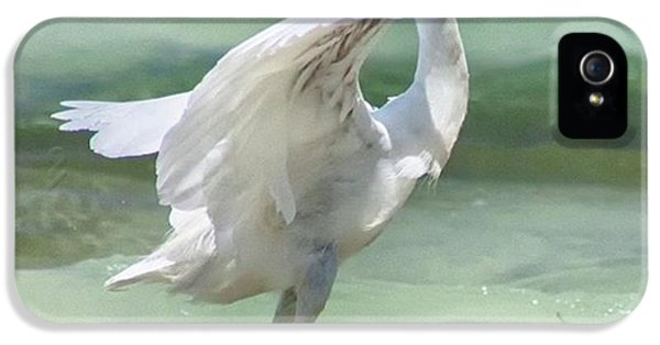 iPhone 5 Case - A Snowy Egret (egretta Thula) At Mahoe by John Edwards