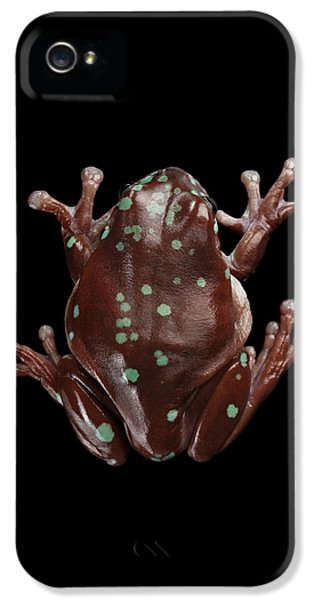 Australian Green Tree Frog, Or Litoria Caerulea Isolated Black Background IPhone 5 Case by Sergey Taran