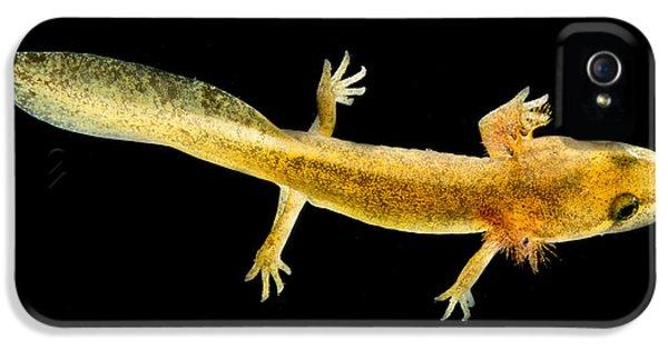 California Giant Salamander Larva IPhone 5 Case by Dant� Fenolio