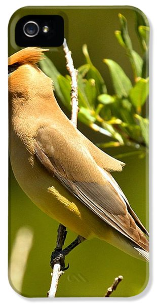 Cedar Waxwing Closeup IPhone 5 / 5s Case by Adam Jewell
