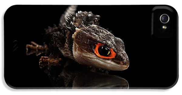 Closeup Red-eyed Crocodile Skink, Tribolonotus Gracilis, Isolated On Black Background IPhone 5 Case by Sergey Taran