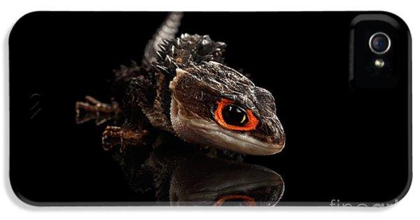 Closeup Red-eyed Crocodile Skink, Tribolonotus Gracilis, Isolated On Black Background IPhone 5 Case by Sergey Taran