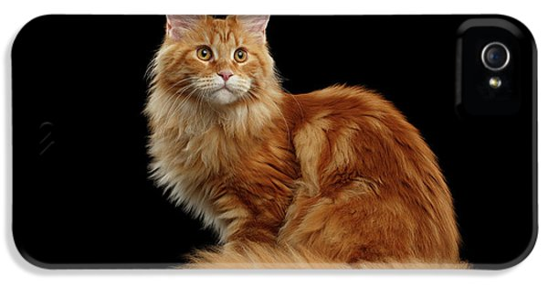 Cat iPhone 5 Case - Ginger Maine Coon Cat Isolated On Black Background by Sergey Taran