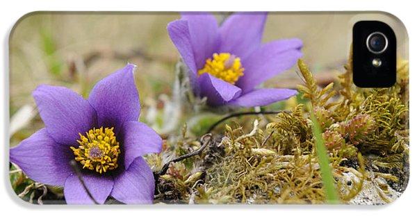 Pasque Flowers IPhone 5 Case by David & Micha Sheldon