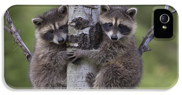 Raccoon Two Babies Climbing Tree North IPhone 5 Case