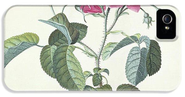 Rose  Dutch Hundred-leaved Rose IPhone 5 Case by Georg Dionysius Ehret